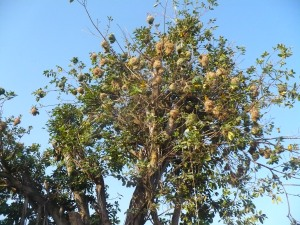 Nests throughout the treetop.