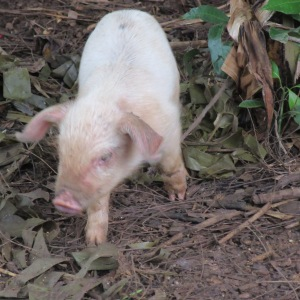 Piglet snuffling by the trail.