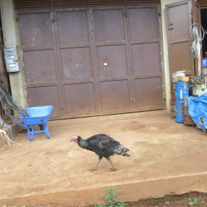 A turkey walking freely on the sidewalk in the city of Jinja.